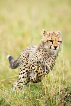 Cheetah Cub in the Maasai Mara