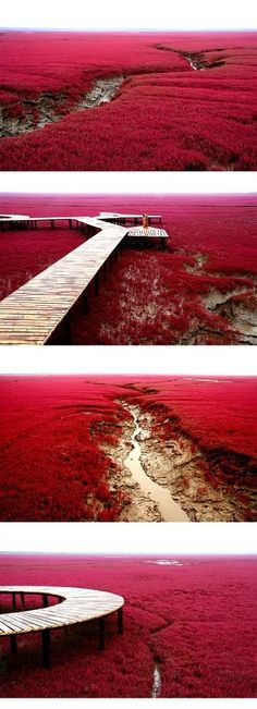 The Red Beach is located in the Liaohe River Delta, about 30 kilometer southwest of Panjin City in China. The beach gets its name from its appearance, which is caused by a type of sea weed that flourishes in the saline-alkali soil. The weed that start growing during April or May remains green during the summer. In autumn, this weed turns flaming red, and the beach looks as if it was covered by an infinite red carpet that creates a rare red sea landscape.