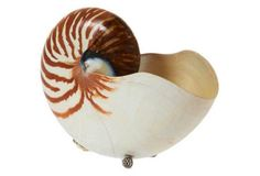 """8"""" Nautilus w/ Sterling Silver, Brown"""
