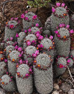 Crowned Cacti