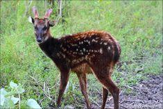 Visayan Spotted Deer Conservation Programme – Philippines ...