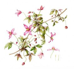 Clematis montana 'Warwickshire Rose' By Leigh Ann Gale.