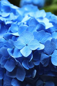 Hydrangea - I always told myself if I ever had a wedding, these would be my flowers.