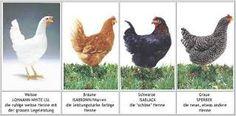 hühnerrassen - Google-Suche