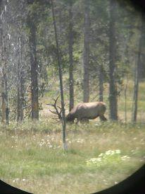 Elk in Yellowstone. Coincidentally in Elk Park. :)