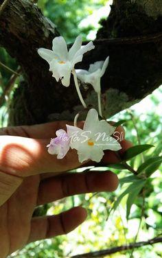 Dendrobium mutabile