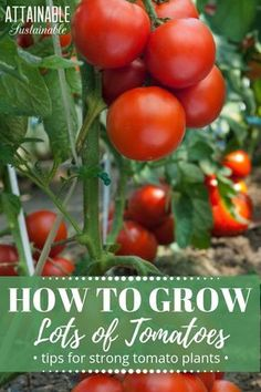 Tomatoes are easy to grow. But knowing how to plant tomatoes properly will give them a very solid start. Take advantage of this little quirk of tomato plants to create a sturdy, well-rooted plant in your vegetable garden. This planting technique will set Tips For Growing Tomatoes, Growing Tomatoes In Containers, Growing Vegetables, Growing Plants, Vegetable Garden Tips, Herb Garden, Green Garden, Gardening For Beginners, Gardening Tips