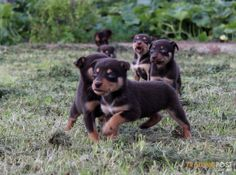 pack of baby beans! Dogs For Sale, Adorable Puppies, Working Dogs, Border Collie, Random Things, Dog Breeds, Beans, Happiness, Horses