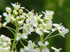 Cardaria draba Hoary Cress, Whitetop... CONDIMENT ... from plants!