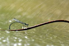 A damselfly sitting in the rain. Wuhan, Hubei Province, China. Photo by National Wildlife Photo Contest entrant Minghui Yuan.
