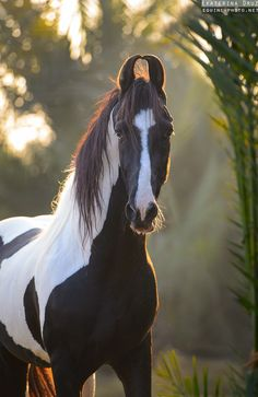 Photos of indian horse breed Marwari, photographed in India by Ekaterina Druz Equine Photography All The Pretty Horses, Beautiful Horses, Animals Beautiful, Cute Horses, Horse Love, Zebras, Marwari Horses, Indian Horses, Majestic Horse