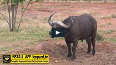 Did you know that healthy animals will frequently lick their noses. The buffalo´s muzzle in particular should be moist at all times. Here is a video of the Shayamanzi buffalo catching up on health practices. Health Practices, Tv Videos, Did You Know, Buffalo, Fun Facts, Wildlife, Action, Science, Times