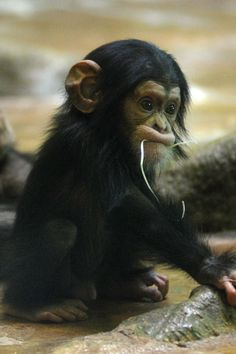 """A baby chimpanzee named Jarvis I can train to be my butler. """"Make my bed, Jarvis."""" """"Bring the car round, Jarvis.""""  """"Fix me a soufflé, Jarvis."""""""