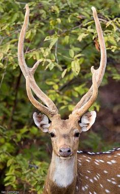 deer - those antlers! Nature Animals, Animals And Pets, Cute Animals, Wild Animals, Beautiful Creatures, Animals Beautiful, Deer Family, Tier Fotos, Mundo Animal