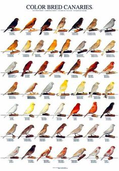 Canary Full Color Bred Identification Poster Part 2 is a beautiful full color poster that documents and identify each species. Shop All Parrot Products Serin, Bird Identification, Canary Birds, Bird Poster, Bird Aviary, Budgies, Parrots, All Birds, Bird Cages