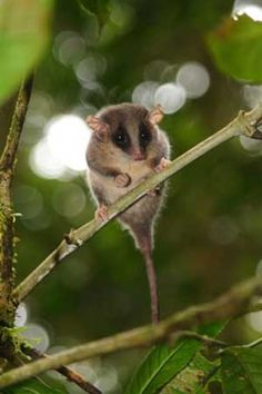 This possibility of a new species. A pygmy possum species cercartetus is perched on a tree branch in Foja mountains. This is one of the marsupials - pouched animals like kangaroos - the smallest in the world.  (http://waroenkonline.blogspot.com)