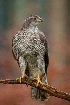 Northern Goshawk. A large hawk, almost reaching buzzard size. When seen close to it has a fierce expression with bright red eyes and a distinctive white eyebrow. Its broad wings enable it to hunt at high speed, weaving in and out of trees, and its long legs and talons can catch its prey in flight. The female is substantially larger than the male. In late winter and spring it has a 'sky-dance' display. Goshawks are still persecuted and their nests are frequently robbed.