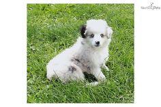 miniature australian shepherd | Miniature Australian Shepherd for sale