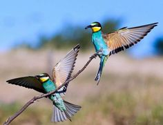 European Bee-eaters, I was very pleased to get this shot of two birds comming to land, both with a catch - Hennie Cilliers