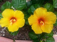 Happy summer hibiscus!