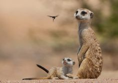 Nature astonishes itself. Meerkats notice a hornet fly by.