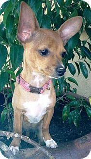 Gilbert, AZ - Chihuahua Mix. Meet Lacey, a puppy for adoption. http://www.adoptapet.com/pet/11200420-gilbert-arizona-chihuahua-mix