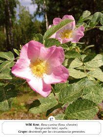 Manual Flores Bach: ALBUM FOTOS FLORES BACH Natural, Rose, Flowers, Plants, Color, Health, Pictures Of Flowers, Medicinal Plants, Pink