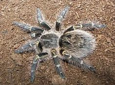 Grammostola pulchripes top view.jpg - However the most massive arachnids, of comparable dimensions and possibly even greater mass, are the Chaco golden knee, Grammostola pulchripes, and the Brazilian salmon pink, Lasiodora parahybana.