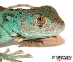 Baby Blue Axanthic Iguana For Sale