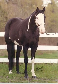 black thoroughbred - Google Search