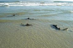 New Smyrna Beach. Florida  The shark attack capital of the world! New Smyrna beach has been the location of over 240 separate shark attacks and the number is constantly rising.