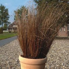 The Red Rooster Carex Grass plant is very low maintenance and provides a textural interest to complement both blooming plants and other foliage with its narrow, coppery blades and graceful upright habit.