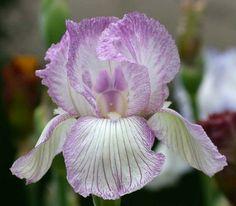 TB Iris germanica 'Orchid Pinstripe' (Lyons, 1988)