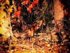 White Wolf : Foxy Autumn: Wild Foxes Enjoying Autumn Magic