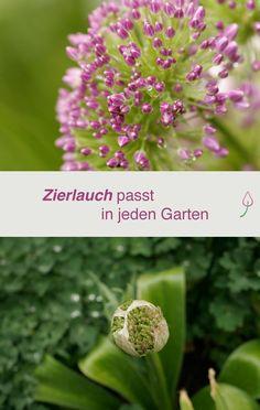 Kein Garten ohne Zierlauch! Alium bereichert den Garten das ganze Jahr über.
