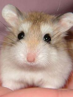 Fat hamster is so cute! Hamster Love! Pinterest
