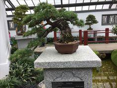 Penjing - Japanese white pine - 35 years old - Montreal Botanical Gardens Montreal Botanical Garden, Botanical Gardens, Old Montreal, Growing Tree, Live Long, Bonsai, Pine, Environment, Japanese