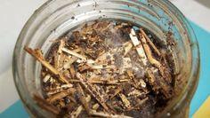 morel mushroom mycelium