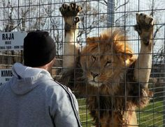 chats sauvages, l'amitié entre l'homme et le lion