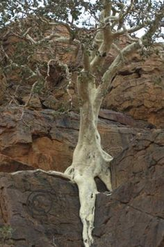 The tree that just won't die - even though it's hanging over a ...