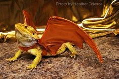 Halloween Pet Costume…love this Bearded Dragon Halloween costume…just add wings and your pet lizard is transformed into a dragon! Halloween is for reptiles, too!
