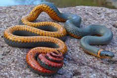 Animals That You Didn't Know Exist - Regal Ring Necked Snake
