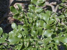 Amyris madrensis (Mountain torchwood) | Native Plants of North America Green Flowers, Wild Flowers, Texas Plants, Seed Bank, Plant Images, Clay Soil, Fall Plants, Torchwood, Plant Sale