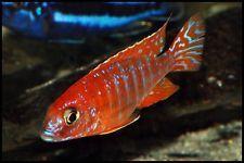 "Juvenile Aulonocara sp ""Rubin Red""  Malawi Cichlid"