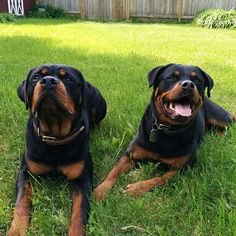 Within Hours, Stop Barking, Growling, Pulling on the Leash and Constant Jumping up! - rottweiler #rottweiler