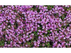 romarin rampant - couleur fleur : bleu floraison : mars , avril