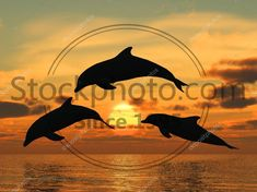 Stock photo of Dolphin yellow sunset - Three dolphins floating at ocean (control light) Dolphins Tattoo, Ocean, Stock Photos, Sunset, Yellow, Illustration, Animals, Animales, Animaux