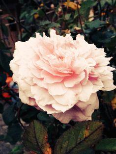 Bampton rose
