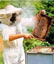 abelhas - Pesquisa do Google