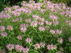 Horsemint (beebalm) is a part shade plant that naturally repels mosquitos.  It blooms in the summer.